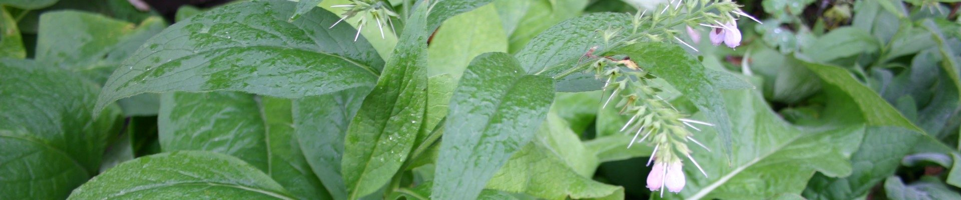 Beinwell in meinem Heilkräuter-Garten in Varel