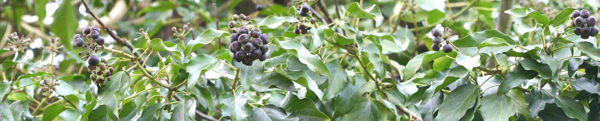 Efeu ist giftig und wird denmnoch in der Naturheilkunde und der Medizin eingesetzt.