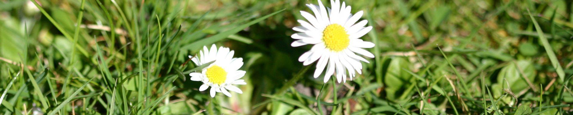 Gänseblümchen - wer hat sie nicht als Kind gepfückt. Sie werden in der Naturheilkunde bei verschiedenen Beschwerden eingesetzt