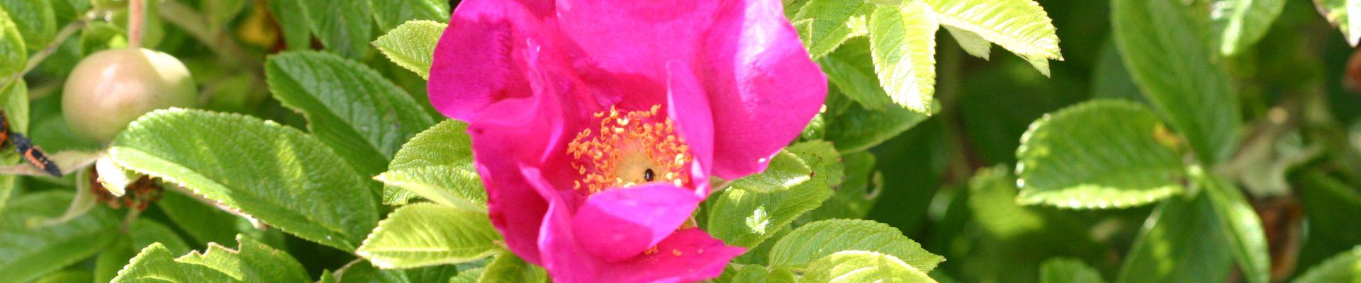 Hagebutte in meinem Heilkräuter-Garten in Varel
