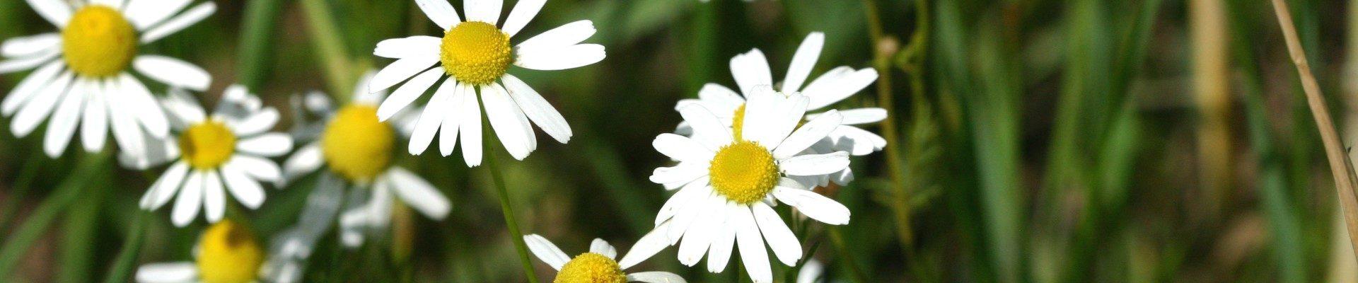 Kamille in meinem Heilkräuter-Garten in Varel