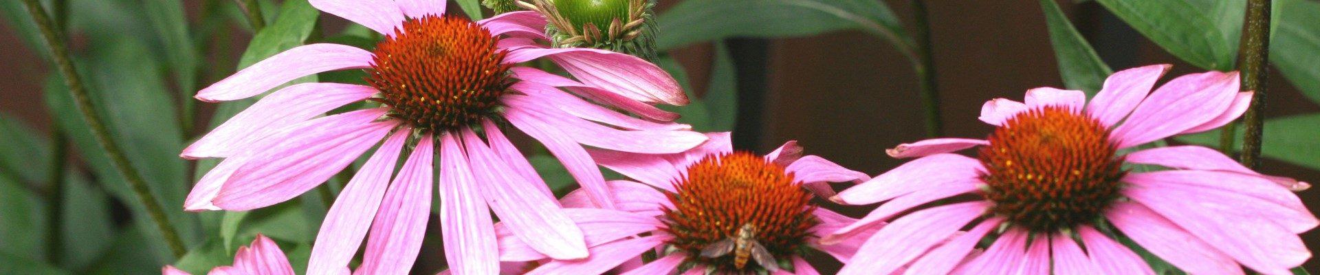Sonnenhut in meinem Heilkräuter-Garten in Varel